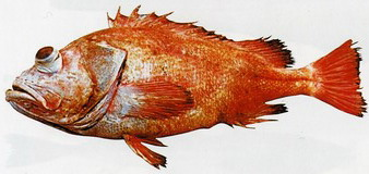 паразиты в морском окуне опасные для человека